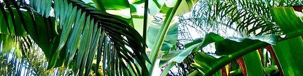 日本初の温泉の蒸気を利用しての奥飛騨バナナ苗・バナナ種の販売専門店。 このページは希少な斑入りバナナ苗木を販売します。フロリダバナナ・アエアエバナナ・タニーバナナなど様々な斑入りバナナの貴重なバナナ苗木を販売します。