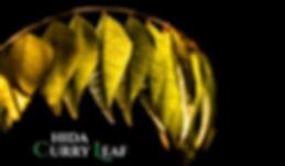 カレーリーフ生葉・カレーには欠かせないハーブ販売。カレーリーフは乾燥葉が多く流通していますが香りは乾燥や時間の経過で失われます。 だから生のカレーリーフの葉は貴重で流通しません。カレーには欠かせないハーブ。本場のカレー好きには有名なスパイスです。もちろん標高800mの温泉栽培で育てあげた国産(飛騨)産の無農薬栽培です。 海外からの乾燥されたカレーリーフは香りが弱い。生の葉では香りが全然違います。 注文を頂いてから収穫しますので新鮮なカレーリーフ生葉をお送りいたします。 葉の新鮮な状態を保