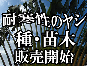 日本初の温泉の湯気を利用しての奥飛騨ヤシの木苗・ヤシの種の販売専門店。耐寒性のヤシを種から栽培しています。温泉の蒸気を利用することにより熱帯雨林の気候になり雪国でも奥飛騨バナナ苗などを栽培を可能にしました。国内初のバナナ苗木や種を専門に取り扱う栽培農家(奥飛騨ファーム)。ここでしか温泉バナナ購入することはできません。ビスマルキア・ユッカロストラータその他色々なヤシの木)種からのヤシ苗栽培をおこなっております。耐寒性のヤシの苗・ヤシの木・バナナ苗販売は奥飛騨ファーム