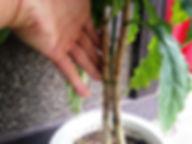 ハワイで有名な希少価値のコナコーヒー特大苗・数量限定です・鉢底から60㎝ほど ※輸入した種子で増やした苗木です。ここまでくれば実が付くのは早いでしょう。 特大苗 6200円  ご注文はこちら