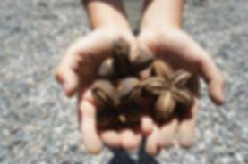 サチャインチオイル グリーンナッツオイル サチャインチ インカグリーンナッツ インカ・インチ 石垣島サチャインチ 国産サチャインチ(アマゾングリーンナッツ)