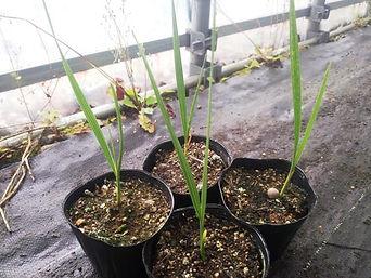 シルバー・ノコギリヤシ Serenoa repens (Silver) (鋸椰子) Serenoa repens (Silver) 果実は脂肪酸やフィトステロールに富み病気の治療薬として研究されている。成長は遅いが耐寒性にはかなり優れている。 葉の色はシルバー色に輝き人気がある品種。近年、育毛などに利用されている注目のヤシ。