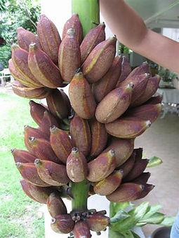 ・Kluai Nam Wa Damバナナ  (Musa Kluai Nam Wa Dam)  食用では珍しい色のバナナ  タイ原産のローカルなバナナ  人気度:★★