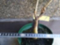 3年物のバオバブ中苗木(ADANSONIA DIGITATA) No1  写真が現品  これからもっと新芽は出ていきます。