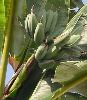 ・Kluai Theparotバナナ  (Musa Kluai Theparot)  タイ原産のローカルなバナナ  人気度:★