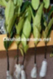 マンゴスチン苗木・直輸入可能!  果実の女王マンゴスチン・国内では入手困難な苗木を直輸入いたします  1本:3900円+検疫手数料2000円+海外運賃  3本:11400円(@3800)+検疫手数料2000円+海外運賃  ※マンゴスチンの栽培難易度はかなり高いです。  輸入した苗木の根を張らせることは難しいです。なのでお勧めはしていません。  それでもやりたいというお客様はお問い合わせください  ※海外運送料は変動しますのでお問い合わせくださいませ。  ※種子から発芽させた苗木が売られていますが接ぎ木をしていないと実はなりませんので注意してください    他の果実でローズアップル(チョンプー)/サポディラ(ラムット)/ジャックフルーツ(カヌン)輸入可能