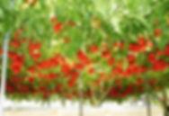 レアな木にトマトが実るタマリロ特大苗(ツリートマト) 写真見本・数量限定です タマリロ(ツリートマト) 学名:Solanum betaceum 南米では木立ちトマトとも言われている。 変わったトマトです。木に実がなるような感じの特殊なトマト。味も香りもトマト風です。 ジャムにして食べるのが一般的。栽培もトマト感覚。実は1年目より2年目以降のほうがたくさん収穫できます。 毎年収穫でき冬は霜があたらなければ比較的耐寒性がある。 1鉢         3600円  完売 2鉢セット  7000円