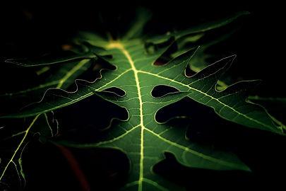 飛騨産のパパイヤの葉っぱ