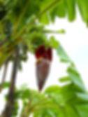 新商品! ピサングセイロンバナナ特大苗 幹は赤く染まります 学名:Musa pisang ceylon 耐寒温度 : 0度前後 海外で組織培養(メリクロン)で増やされた苗木を輸入。大型品種の味は優れ人気がある品種。私は食べたことはないが独特の風味がありインドでは人気品種。実はモンキーバナナより大きいが普通のバナナより一回り小さい。 耐寒性も強いと言われているが沖縄を除き路地植えはあまりお勧めしない。 お試し価格で激安にしています。ふつうはこの価格で買えない。