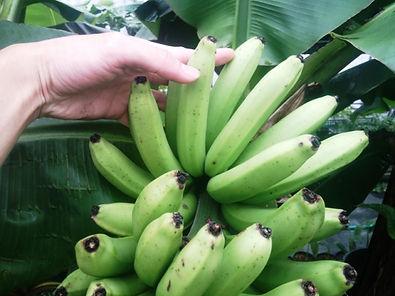 本数は30本前後!品種:三尺バナナ  ※ご注文を確認次第、収穫しお送りいたします。  甘みが強く弾力ある触感のバナナです  約30本まとめてセット:4500円(税込) 売り切れ  ※ご予約が多く、今現在受け付け中止にしています