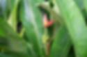 オレンジオルナタバナナ   学名:Musa ornata (orange flower)  原産国:東南アジア     あまり大きくならず鉢植えで室内でも十分楽しめます。  耐寒性も比較的あります。オレンジの花が咲き魅力的なバナナ。