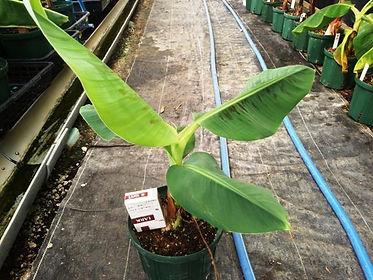 輸入したドワーフキャベンディシュバナナ中苗  写真見本 学名:Musa (AAA group) 'Dwarf Cavendish 食用バナナの代表的な品種。世界で栽培されている半数を占めるバナナです。 ドワーフ(小型)なので大型品種ではないために管理がしやすいバナナ。鉢植えで開花いけます。耐寒性はありません。一般的なスーパーに売られている品種と同じ味です。 輸入苗木にしては激安価格にしています。