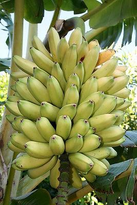 アップルバナナ Musa・Manzano アップルバナナ苗 リンゴ味のバナナ 耐寒性食用バナナ 食用のアップルバナナ