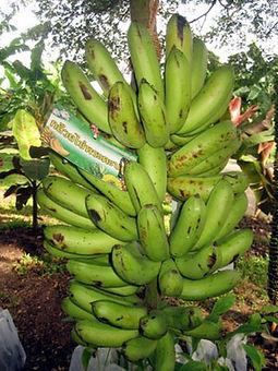 ・KLUAI KHAI PRATABONGバナナ  (Musa Klual khal pratabong)  タイ原産のローカルなバナナ  人気度:★