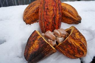 輸入できる新鮮なカカオの果実