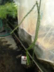 イエロードラゴンフルーツ(イエローピタヤ)特大苗No.03  写真が現品  特大苗 3300円 売り切れ