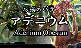 アデニウム苗木販売