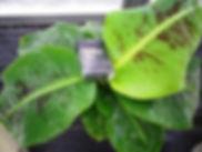 背丈60㎝で実がなるスーパーミニバナナ中苗! 株分けした苗木  学名:Musa acuminata 'Super Dwarf Cavendish' 別名:矮性ミニバナナ・スーパーミニバナナ
