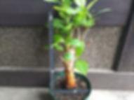 10年物のバオバブ大苗木(ADANSONIA DIGITATA) No21 写真が現品 これからもっと新芽は出ていきます。限定生産です。しかもかなりお得な価格にしています。 大苗 9000円 ご注文はこちら