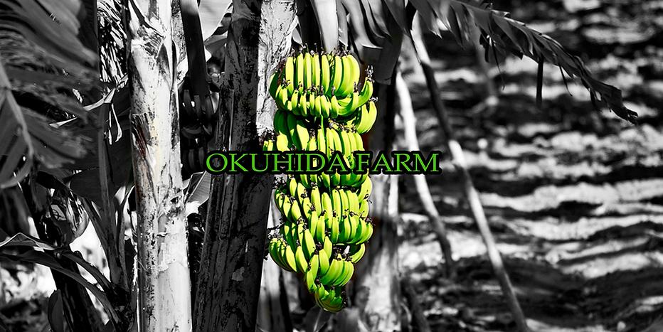 奥飛騨ファームで育つたくさんのバナナの木。バナナの実もたくさん実ります。野外でも冬を越す耐寒性最強のバナナたちです