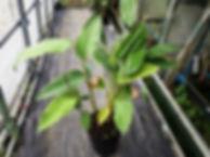 ヘリコニア・ロストラータ大苗の数本入りセット 見本  ドワーフなので1m前後で開花します。  大苗数本入りセット 3900円  完売
