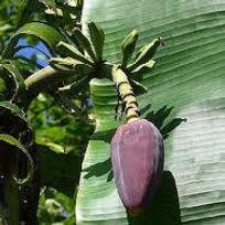 ジャイアントダージリンバナナ  学名:Musa sikkimensis daj giant  流通名:ダージリンジャイアントバナナ  耐寒温度:-7~8度程度  原産地:インド     ダージリンバナナ同様の耐寒性のバナナです。寒さに強いので人気の品種です。