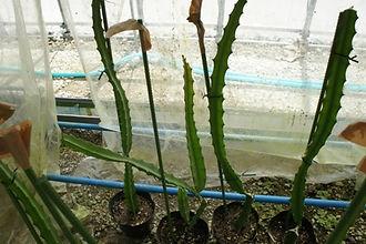 イエロードラゴンフルーツ(イエローピタヤ)大苗 No1 Selenicereus megalanthus  サボテン科:ヒロセレウス属  原産地:中米地方  熱帯地域に生息するサボテン類の果実のドラゴンフルーツ。  見た目の派手さが印象的な南国の果物。その中でもなかなか手に入らないイエロードラゴンフルーツ。  ドラゴンフルーツの中では一番甘い品種になります。  赤や白色のドラゴンフルーツは流通していますが、イエローは希少種です。  中苗1個      2700円  売り切れ  中苗2個セット  5200円     中苗3個セット  7500円