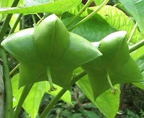 サチャインチ(グリーンナッツ)2苗セット トウダイグサ科 学名:Plukenetia volubilis 原産国:アマゾン地帯 話題のオメガ3をたくさん含む高級オイル(グリーンナッツオイル)の原材料。  (株)奥飛騨ファームでは2011年から商業的大規模栽培に着手しています。栽培も成功し国内の温暖な地域でしたら栽培可能。鉢植えで冬は室内管理も可能。  2苗セット 1500円 販売予定はない状態です