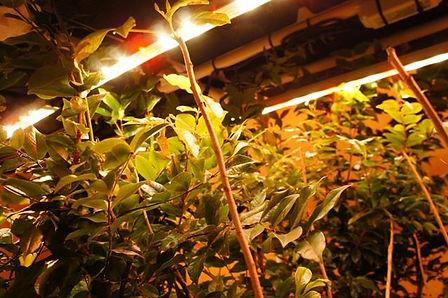 温泉暖房LED熱帯植物工場内で生産される植物は50品種。 この空間だけで年間1500本以上の植物が生産され販売。 小さな空間でも大量生産することがこのシステムの強み。 LED電気・温泉暖房により光熱費のコスト削減が大幅に可能になった。 LED植物工場と聞くと野菜を作ることが一般的ですがそれではつまらない。 弊社では誰もが育てない物をLEDシステムを利用し栽培する。