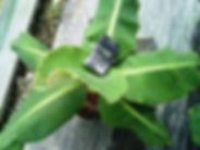 背丈60㎝で実がなるスーパーミニバナナ特大苗No1 学名:Musa acuminata 'Super Dwarf Cavendish' 別名:矮性ミニバナナ・スーパーミニバナナ