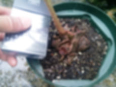 リュウビンタイ小株! 写真見本 リュウビンタイ科(Marattiaceae) 耐寒性は強い。室内の日差しが当らない日陰で育てるのがベスト。 インテリアとして最高の株になります。この大きさになるまでに何年もたっています。 小株 1980円 完売