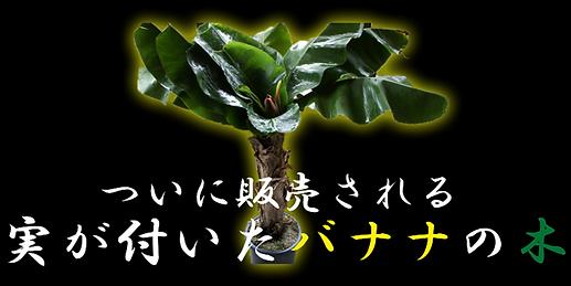 実が付いたバナナの木が日本で流通することはほとんどありません。 市場取引でもたまに出てくるくらいで4~5万円ほどで取引されます。高いものだ10万くらいはします。 (株)奥飛騨ファームでは相場よりもかなり価格を下げています。 なぜなら温泉熱によりコスト削減、農家直販だからできる価格。