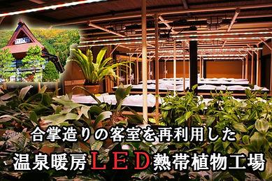 日本では前例がない温泉暖房によるLED熱帯植物工場完成.。自営の温泉旅館の空き部屋を再利用し新たな空間作りがコンセプト。 このLED熱帯植物工場は合掌造りの建物の中の客室2部屋を利用。 20畳の客室をリフォームした和のLED熱帯植物工場です。 年々観光客は激減し何も生まれない空き部屋から 新たな物が生れる新しい植物工場の形です。利用しているLED電球は特殊な植物専用使用。 一般的なLED電球とは異なり植物の生育に欠かせない光合成を作りだす 太陽の光に近い特殊なLED装置。