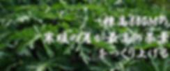 飛騨産のパパイヤ茶は標高800mで栽培しているので夏の寒暖の差が激しくそれが最高の葉茶を作り上げる