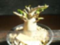 アデニウム、タイソコトラナム苗木NO2  写真現品 アデニウム、タイソコトラナム 学名:Adenium Thai Socotranum タイソコトラナムはソコトラ島原産のソコトラナムを元に交配された交配種です。 デザート・ローズと呼ばれ日本名は砂漠のバラ。株元がとっくりのようにふくらんで茎が肥大して多肉質になり、枝分かれして低木状に茂ります。 ※根はばんばん張っています。※写真が現品 これで最後です。販売予定はないです。 1株 4900円 売り切れ