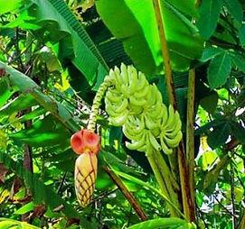 入手不可能な赤斑入りのマニラ麻バナナ苗 お一人様1本数量限定です マニラ麻バナナ Musa Textilis 学 名:Musa textilis (Borneo) 流通名:マニラ麻 原産地:フィリピン・ボルネオ 茎がかなり強く強い風でもなかなか折れないタフなバナナ。耐寒性もかなり 強い。日本では流通はしていない。原産地では幹の繊維を利用しバックなど作られている。  ※弊社で組織培養で増やした時に突然赤斑入りが入ったマニラ麻バナナ。 こんなのなかなかできない。野生品種の関係で個体差が激しい。マニラ麻バナナ独特の幹の固さが大きくなれば分かるでしょう。この品種より幹が強いバナナはおそらくないだろう。幹が固く強いから耐寒性もかなります。ただ貴重だから初めは鉢植えの方がよいだろう。 世界中探してもここでしか手に入らない品種です。