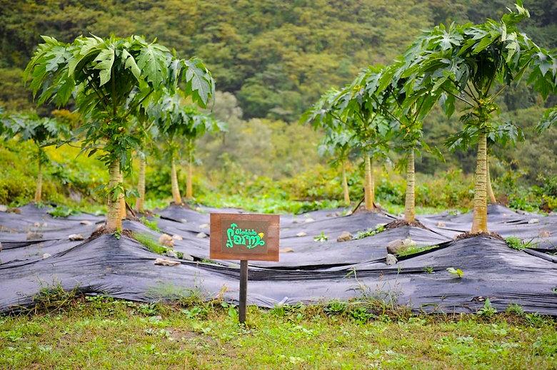 飛騨でのパパイヤ栽培の様子