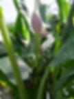 パープルオルナタバナナ  学名:Musa ornata (purple flower) 原産国:東南アジア     オレンジオルナタバナナと同様、あまり大きくならず鉢植えで室内でも十分楽しめます。 耐寒性も比較的あります。パープルの花が咲き魅力的なバナナ。