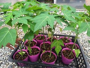 小型品種(矮性)の台農2号パパイヤ苗・写真見本 背の低いうちから実がなる特殊なパパイヤ。成長が早く収穫も早い。収穫量も多い。  全てのパパイヤは耐寒性はないので毎年植え付けし野菜感覚で栽培したほうがよい。  耐寒性が強いと言われる品種でも弱いのが現実。育てて確認済。なかで栽培しやすいのが台農2号の品種。この品種は1本で実が収穫できます。