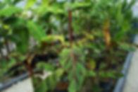 【バナナは寒さに強い!?】  国内の品種はどうしても寒さに弱い。(株)奥飛騨ファームで取り扱う品種はほとんどが耐寒性のバナナです。  ヒマラヤ付近の標高2000mで自生している野生の品種のバナナになります。その代わり味は食用バナナに比べ美味しくない。実の中には種も含まれています。だけど寒さには強くここ雪国の奥飛騨の屋根下でも冬を越します。これが耐寒性のバナナなのです。