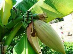 ダージリンバナナ Musa sikkimensis  学名:Musa sikkimensis 原産地:インド、ブータン、ヒマラヤ 耐寒温度 : -10℃ぐらい ヒマラヤの標高2000mに自生する。 甘みのある果実が結実するが、かなり固く種子も入っている。水と肥料を十分に供給するといちだんと成長が早い。  ※寒さに強い品種で一番人気があるバナナです。