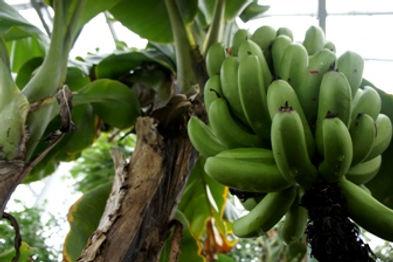 """三尺バナナ(サンジャクバナナ)  学名: MUSA acuminata cv. """"Dwarf Banana""""  原産国:東南アジア  別名:バナナ・サンジャクバナナ  越冬温度:5度程度   人気があり実を食べれるバナナ。果物の代表格。食用として改良された品種。沖縄では有名なバナナ。"""