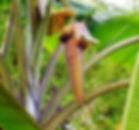 トムソニイバナナ Musa thomsonii  インド北東部のヒマラヤに生育するトムソニイバナナ。