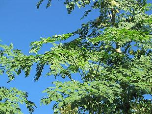 学名: Moringa oleifera  モリンガ茶で有名なモリンガ。葉・花・種子・鞘のすべてが食用になります。  モリンガは、捨てるところがまったくない。栽培も簡単な植物です。