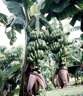 ・ダブルマホイバナナ  (Musa Double Mahoi)  とてもレアな品種。1本の苗木から2本の蕾が出るので収穫量は2倍!ただ必ず2つの蕾が出るとは限らない  人気度:★★