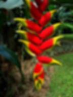 ヘリコニア・ロストラータ数本入りセット/(Heliconia rostrat) 見本  学名 :Heliconia rostrat  原産: 南太平洋 芭蕉科 葉っぱはバナナに似ているヘリコニア。大きくならないので室内で管理ができる。 この変わった花が咲き人を寄せ付ける。 高温多湿を好み寒さには強くありません。 耐寒性も5度程度までOKなので冬は室内で大丈夫。  ドワーフなので1m前後で開花します。  数本入りセット 3400円   完売