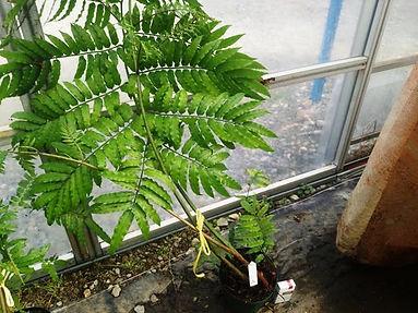 リュウビンタイ大株No5 写真が現品  リュウビンタイ科(Marattiaceae) この大きさは販売できる最大級です。日陰で育てるのがベスト。 インテリアとして最高の株になります。この大きさになるまでに何年もたっています。 大株 6500円 売り切れ