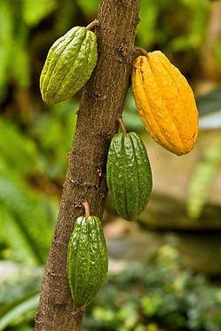 【小さいカカオ果実】 品種:トリニタリオ種(TRINITARIO)  ・イエローカカオ(SmallYellow Cacao Fruit) 2600円 売り切れ  ・レッドカカオ(SmallRed Cacao Fruit)   2600円 売り切れ