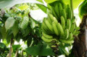 国産無農薬バナナ