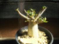 アデニウム、タイソコトラナム苗木NO3  写真現品 アデニウム、タイソコトラナム 学名:Adenium Thai Socotranum タイソコトラナムはソコトラ島原産のソコトラナムを元に交配された交配種です。 デザート・ローズと呼ばれ日本名は砂漠のバラ。株元がとっくりのようにふくらんで茎が肥大して多肉質になり、枝分かれして低木状に茂ります。 ※根はばんばん張っています。※写真が現品 これで最後です。販売予定はないです。 1株 4500円  売り切れ